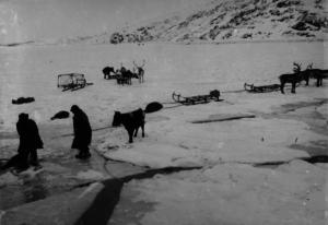 D/S Varanger ligger ved iskanten i Bøkfjorden utenfor Kirkenes. En okse skal heises om bord og isen sprekker opp. Foto: Ellisif Wessel, Grenselandmuseets samling.